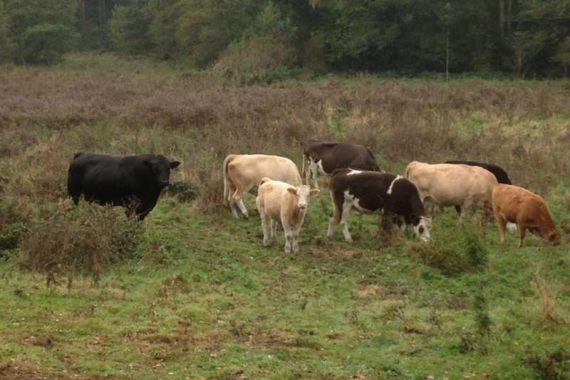 Cattle at Berkswell