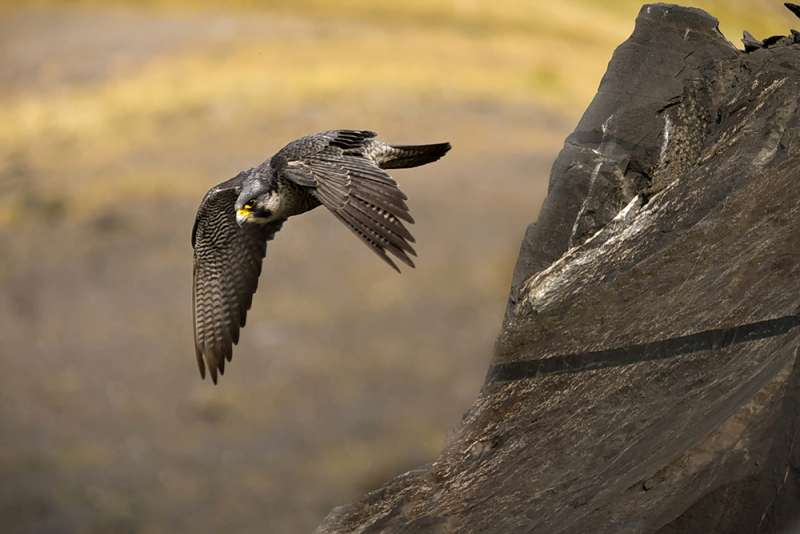 Peregrine falcon at undisclosed northern quarry. Photo: Michael Cardus